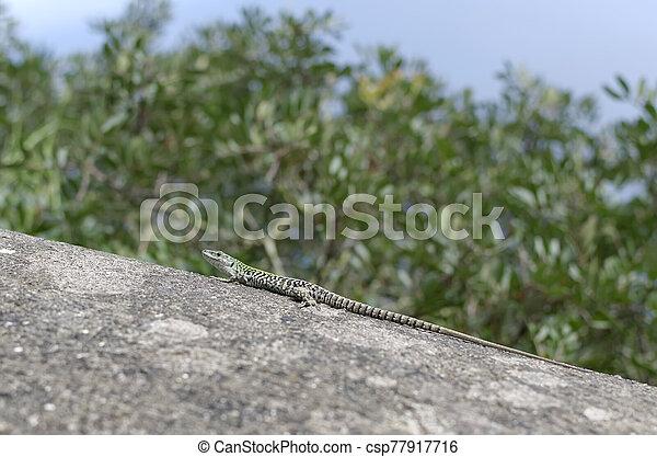 detail, fotografie, malý, ještěrka, léto, balvan - csp77917716