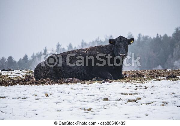 kráva, sněžný, čerň, bojiště, ležící - csp88540433