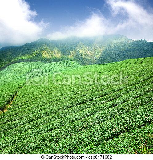 mračno, čaj, mladický plantá, asie - csp8471682