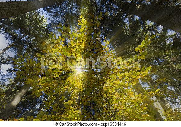 paprsek, slunit se, list, strom, podzim, buk - csp16504446
