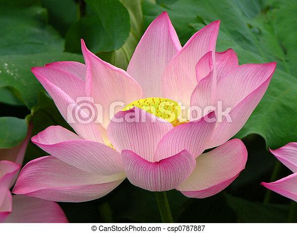 Růžový lotos visí na bradě - csp0787887