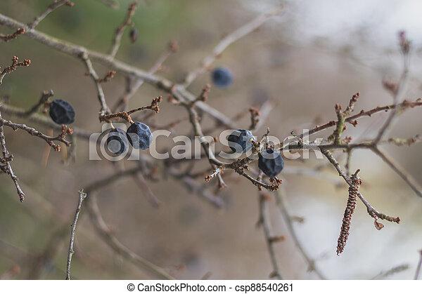 zamrzlý, dary, keř, blackthorn, zima - csp88540261